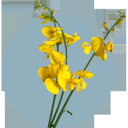 Cytisine-extract van De Gouden Regen
